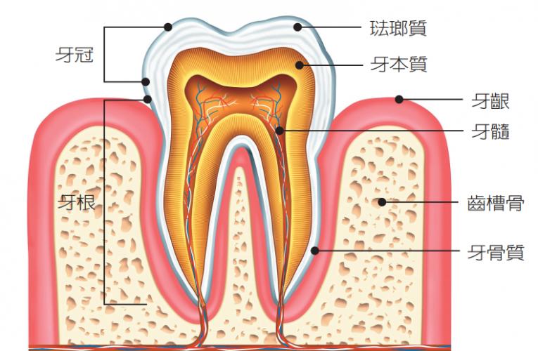 牙齒敏感是一種病?先搞懂什麼是牙本質和牙骨質